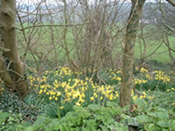 daffodils in woods